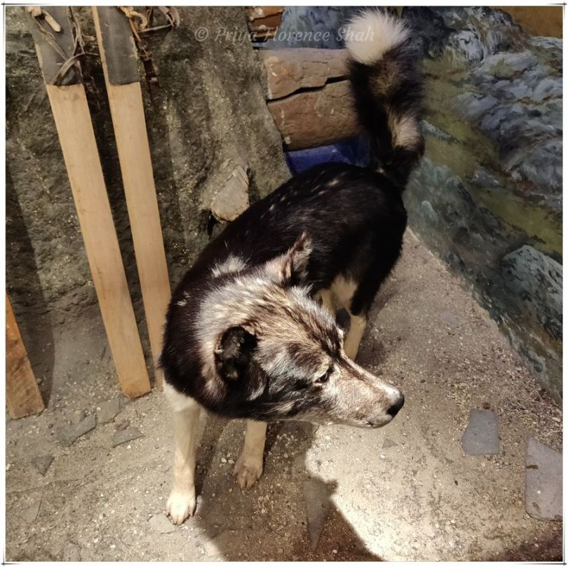 A husky stands on guard